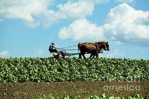 Amish farmer with horses in tobacco field by George Sheldon