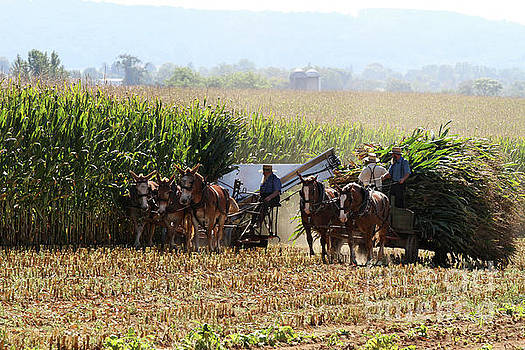 Amish Men Harvesting Corn by Steven Frame