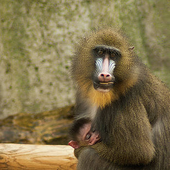 Amom's eyes don't lie - Mandrill mother and baby by Steppeland -