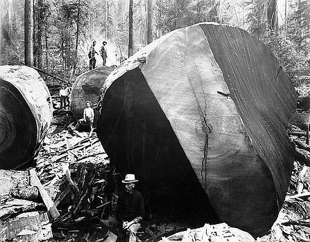 Daniel Hagerman - AMONG the FELLED REDWOODS  c. 1890