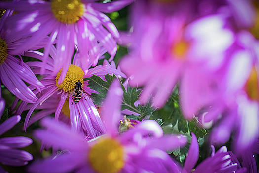 Amongst the Asters by Betsy Armour