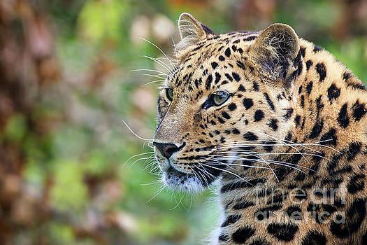 Amur leopard portrait by Jane Rix