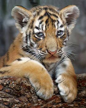 Nikolyn McDonald - Amur Tiger - Cub