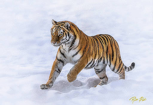 Amur Tiger Running in Snow by Rikk Flohr