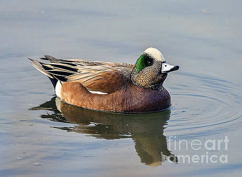 An American Wigeon Out For A Stroll by Eddie Yerkish