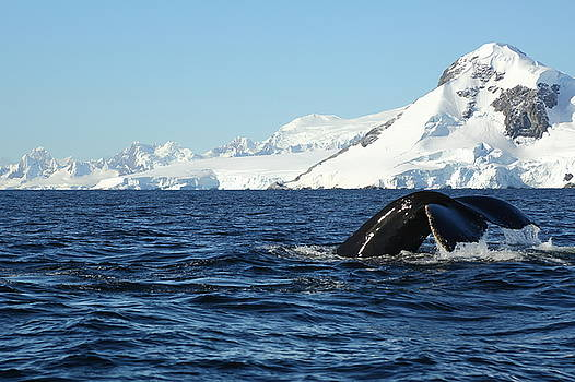 An Antarctic Whale Tail by Bruce J Robinson