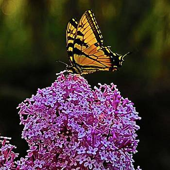 An Eastern Swallowtail Butterfly On Our by Jeff Foliage