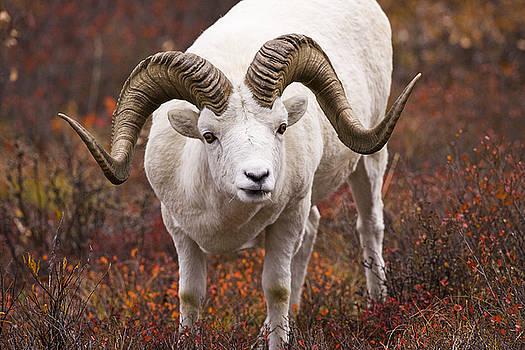 Tim Grams - An Exceptional Ram
