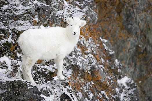 Tim Grams - An Innocent Lamb