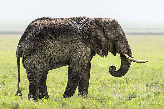 RicardMN Photography - An old elephant eating grass in the Ngorongoro crater