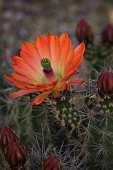 Saija Lehtonen - An Orange Beauty of a Hedgehog