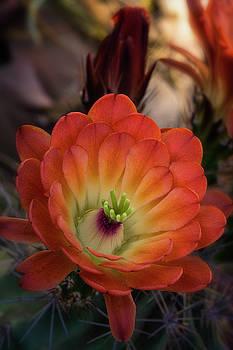 Saija Lehtonen - An Orange Beauty