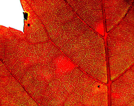 Anatomy of a Leaf by Rick Macomber