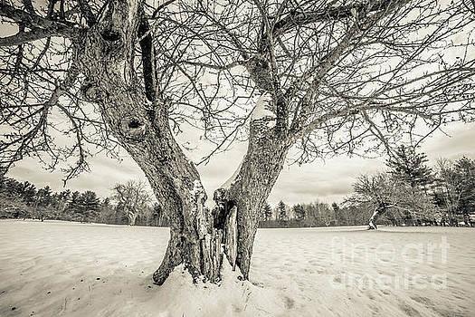 Ancient Apple Trees in Winter by Edward Fielding