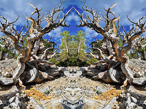 Ancient Bristlecone Mirror by Kyle Hanson