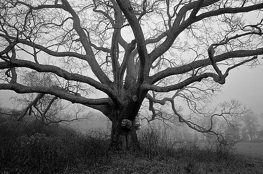 Ancient Oak Tree V - Sheep Pasture by David Gordon
