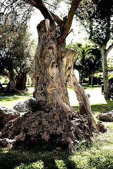 Ancient Olive Tree  by John Chatterley