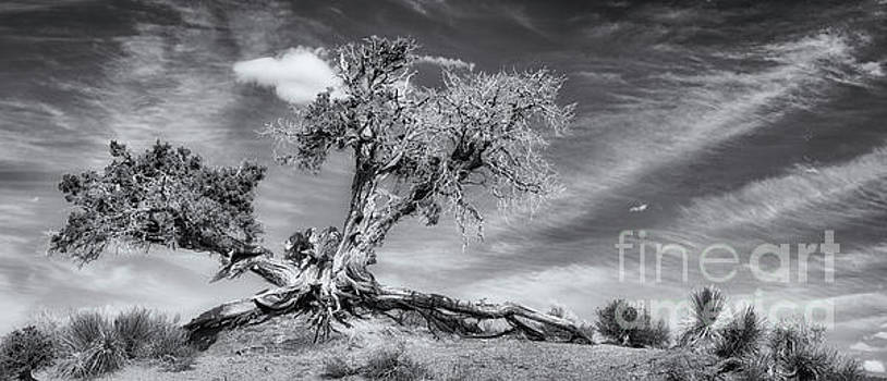 Ancient Tree BW by Jerry Fornarotto