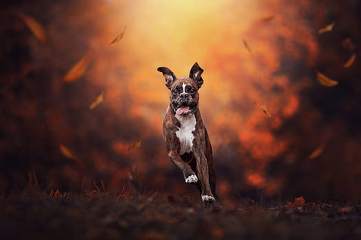 The leaves comes tumbling down as a boxer dog running trough the field by Tamas Szarka