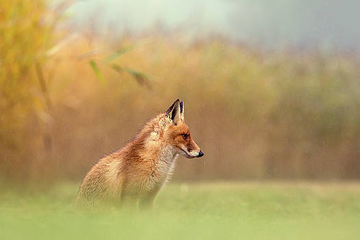 And Then I See a Darkness - Red Fox in the Rain by Roeselien Raimond