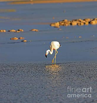 Andean flamingo, Phoenicoparrus andinus by Louise Heusinkveld