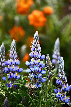 James Brunker - Andean Lupins 1