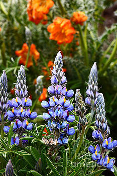 James Brunker - Andean Lupins 2