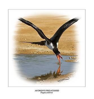 ANDREWS FRIGATEBIRD Fregata andrewsi 4 by Owen Bell