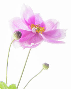 Anemone Babies  by Diane Fifield