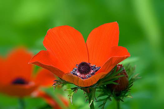 Yuri Peress - Anemone Coronaria