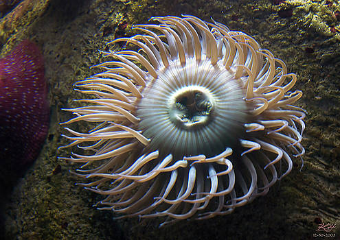 Anemone II by Kenneth Hadlock