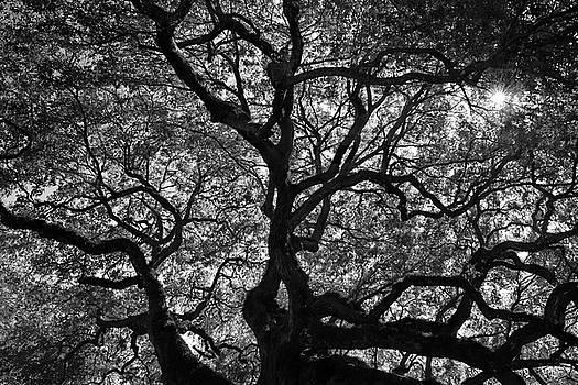 Angel Oak Canopy by Dan Myers
