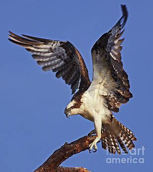 Angel Osprey by Larry Nieland