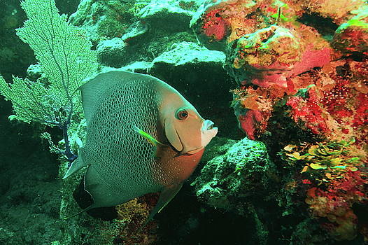 Angelfish and Reef Colors by Roupen  Baker