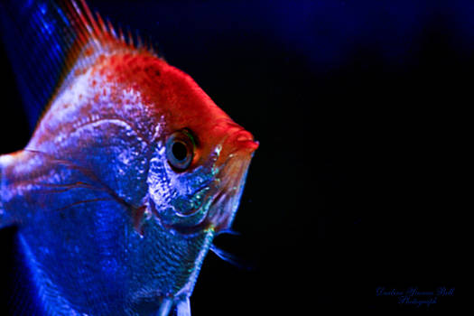 Darlene Bell - Angelfish