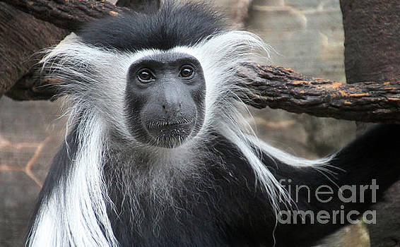 Gary Gingrich Galleries - Angolon Colobus-8568