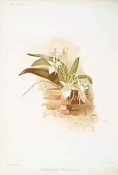 Ricky Barnard - Angraecum Humblotii