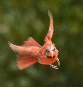 Angry Bird by Sumoflam Photography