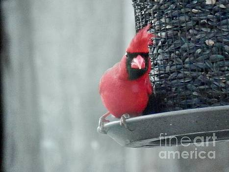 Angry Cardinal   by William Presley