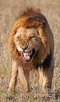 Angry lion, Africa wildlife by Wibke W