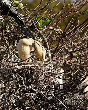 Anhinga Chicks by Chuck Hicks