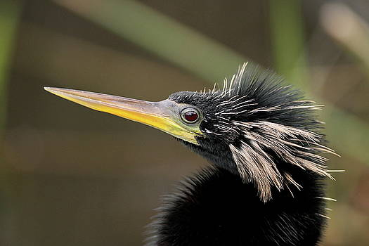 Anhinga close-up by Brian Magnier