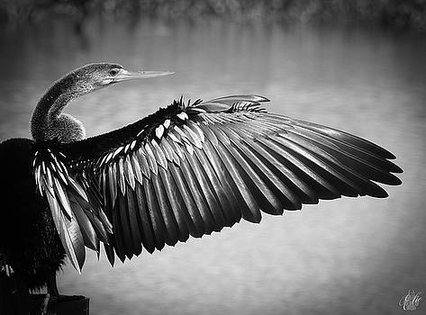 Anhinga, No. 27 by Elie Wolf