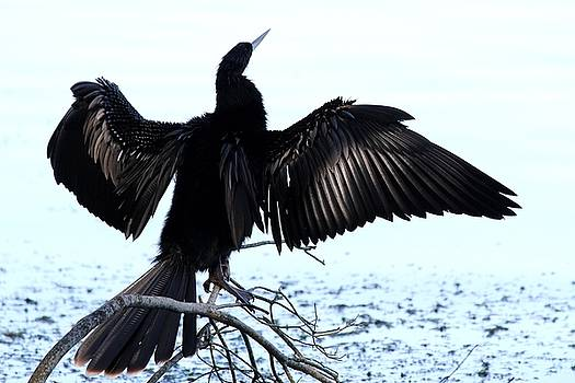 Anhinga Spread Eagle by Theresa Willingham