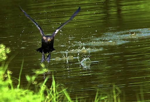 Anhinga take off by Bibi Rojas