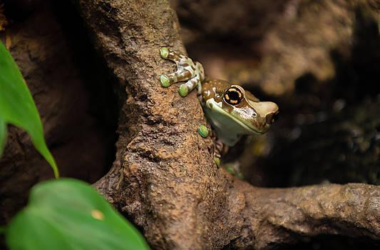 Animal - Amphibian - Frog - Amazon Milk Frog by CJ Park