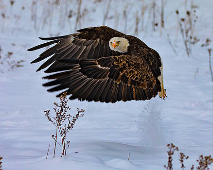 Animal - Bird - Bald Eagle Taking Off In The Snow by CJ Park