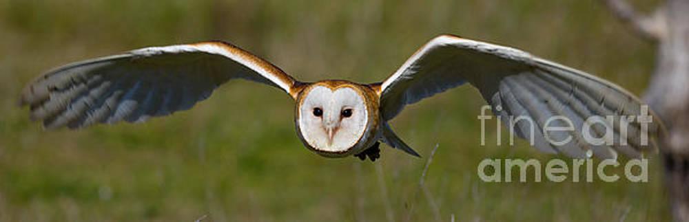 Animal - Bird - Barn Owl Flying at You by CJ Park