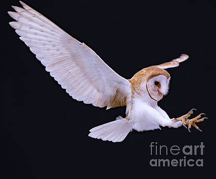 Animal - Bird - Barn Owl in flight with talons out by CJ Park