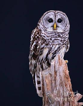 Animal - Bird - Barred Owl by CJ Park